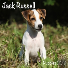 JACK RUSSELL PUPPIES M,
