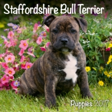 STAFFORDSHIRE BULL TERRIER PUPPIES M,