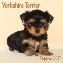 YORKSHIRE TERRIER PUPPIES M,