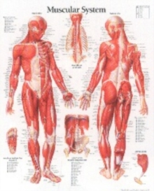 Muscular System with Male Figure Paper Poster, Poster