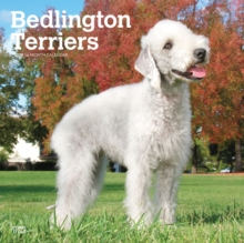 Bedlington Terriers 2019 Square Wall Calendar, Calendar Book